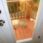 We found this fox resting on another stairway landing to our backyard, June 23, 2014. We were worried about Buzz's Safety!