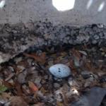 Baby Buzzard #1- We find the baby buzzard egg under the deck stairway!