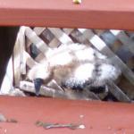 Baby Buzzard #6- Buzz at six weeks, June 21, 2014.jpg