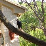 Baby Buzzard #9- Buzz perched on the tree near the stairway at eleven weeks, July 26, 2014.